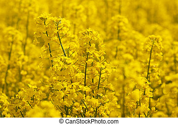 Flowers of rape on a yellow background