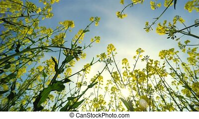 Flowers of rapeseed and sun, view f