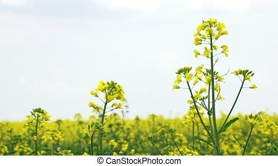 Flowers Of Rapeseed