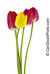 Flowers of red and yellow tulips Isolated on a white background close-up.