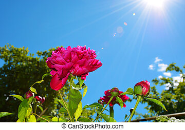 Flowers of red peony on a background of blue sky and white clouds in the sun.