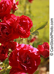 Flowers of rose (Trumpeter), for backgrounds or textures