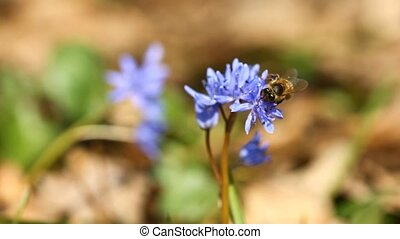 Flowers of Scilla bifolia and bee