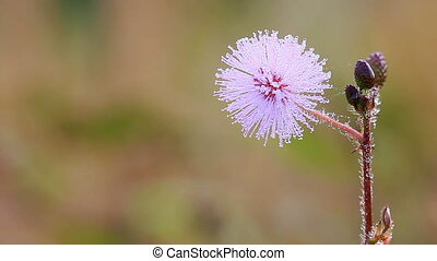 Flowers of Sensitive Plant. - The wind blows flowers of...