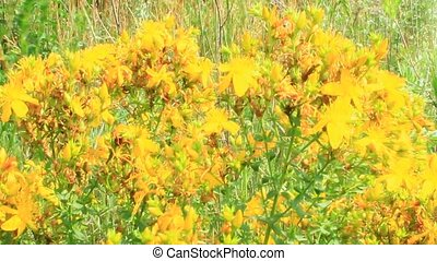 Flowers of St.-John's wort blossoming in field - Flowers of...