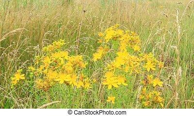 St.-John's wort blossoming in field - Flowers of St.-John's...