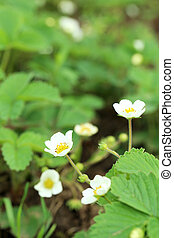Flowers of strawberry in garden, outdoors, close up
