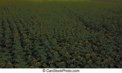 flowers of sunflower - sunflower flowers from a bird's eye...