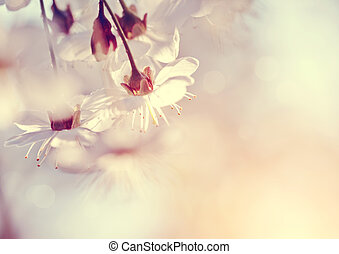 Flowers of the cherry blossoms in the spring