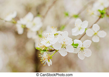 Flowers of the cherry blossoms on spring day