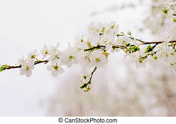 Flowers of the cherry blossoms on spring.
