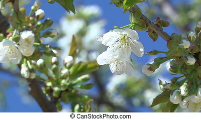 Flowers of the Cherry Tree