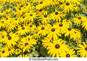 Flowers of the coneflower.