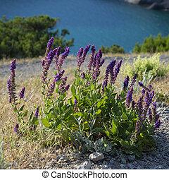Flowers of the Crimean Peninsula, Novy Svet