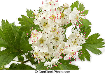 Flowers of the hawthorn on branch close-up