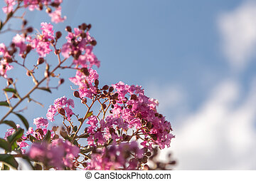 Flowers of the Lagerstroemia indica tree in contrast to the ...
