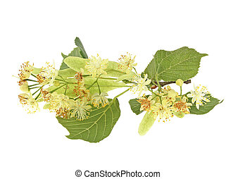 Flowers of the linden isolated on a white background
