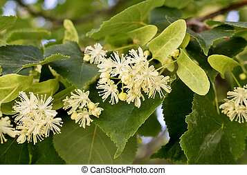 flowers of the Linden tree