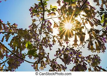 Flowers of the paulownia tree