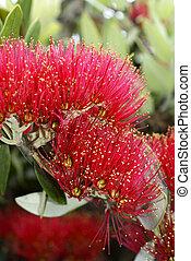 Flowers of the Pohutukawa Tree (Metrosideros excelsa)