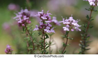 Flowers of Thymus vulgaris