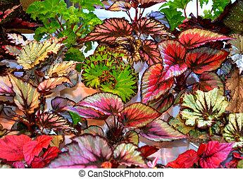 flowers of tuberous begonias (Begonia tuberhybrida). flowers begonias. Begonia in flowerpot