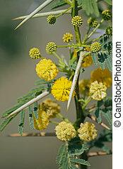 Flowers of Vachellia nilotica, Acacia Nilotica, Babhul tree,...