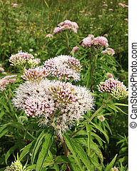 Flowers of valerian. - Flowers of valerian, Valeriana...