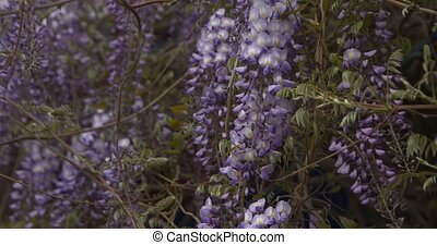 Flowers of violet wisteria close up flying around camera