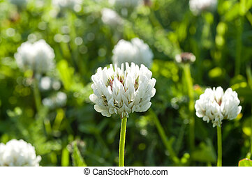 Flowers of white clover on a meadow.