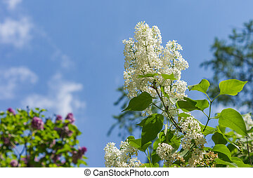Flowers of white lilac on a blue sky background