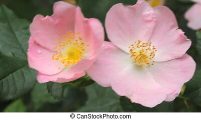 Flowers of Wild rose blooming