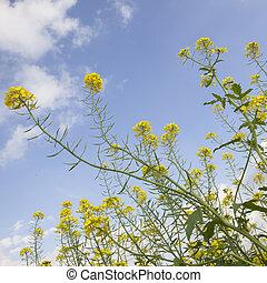 flowers of yellow mustard seed in field
