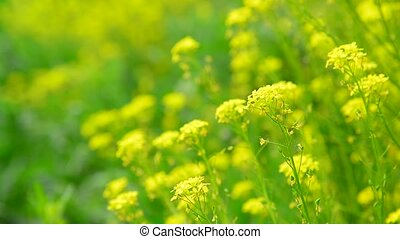 flowers of yellow rapeseed closeup in field