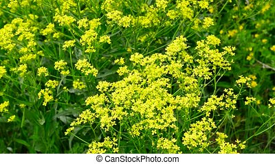 flowers of yellow rapeseed closeup