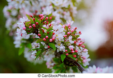 Flowers on a branch in the spring, apple tree.