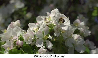 Flowers on a flowering tree - A bee on the flowers of an...