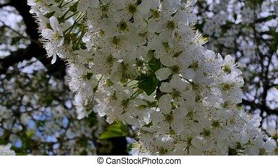 Flowers on a flowering tree - Blooming tree in a spring...
