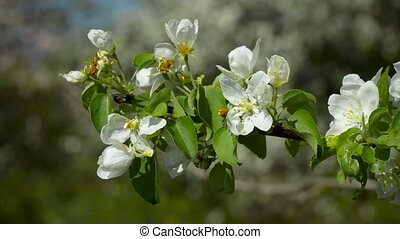 Flowers on a flowering tree - Flowers blossomed on a branch...