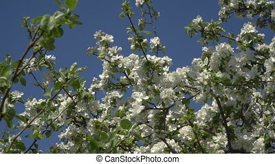 Flowers on a flowering tree - Spring. A blossoming tree...