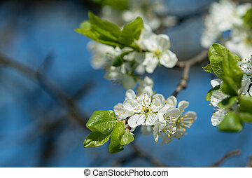 Flowers on a plum tree close up