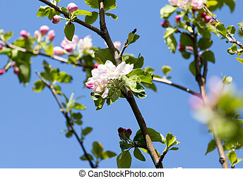 flowers on apple trees against the blue sky outdoors