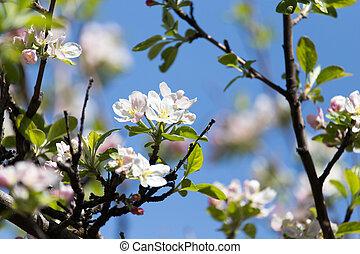 flowers on apple trees against the blue sky