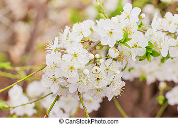 Flowers on branches of trees in the spring.