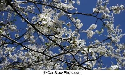 flowers on cherry tree