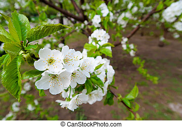 Flowers on the branches of apple trees blossoming in spring