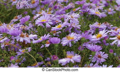 Flowers perennial Alpine asters. Close up