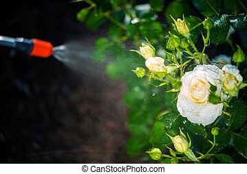 Flowers Pest Control Spraying. Spraying White Roses.