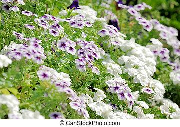 Flowers phlox, Latin Phlox paniculata