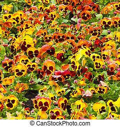 flowers - viola tricolor pansy, flowerbed